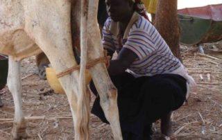 Rinderzucht in Boala